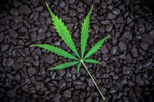 Pot Leaf on Gravel | Is Legal Pot Responsible for the rise of the Denver crime rate?